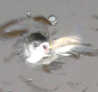 aus dem Wasser springende und nach einer Kapsel schnappende Forelle
